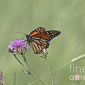 Sweet Nectar by Deborah Benoit
