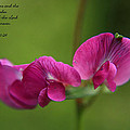 Sweet Pea Flower by Tyra  OBryant