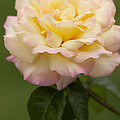Sweet Peace Rose by Kathy Clark