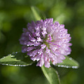 Sweet Pink Clover by Kathy Clark