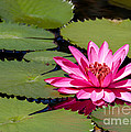 Sweet Pink Water Lily In The River by Sabrina L Ryan