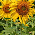 Sweet Sunflowers by Beverly Kobee