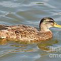 Swimming Duck by Dan Orlowski