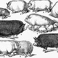 Swine, 1876 by Granger