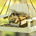Swingin Squirrel Robber by Bill Tiepelman