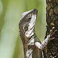 Ta-ta Lizard by Douglas Barnard