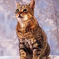 Tabby Cat Portrait Of A Cat by The Irish Image Collection