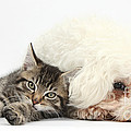 Tabby Kitten And Bichon Fris� by Mark Taylor