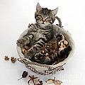 Tabby Kitten In Potpourri Basket by Mark Taylor