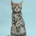 Tabby Kitten Sitting Up by Mark Taylor