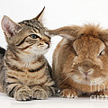 Tabby Kitten With Rabbit by Mark Taylor