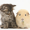 Tabby Kitten With Yellow Guinea Pig by Mark Taylor