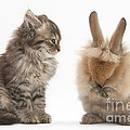 Tabby Kitten With Young Rabbit, Grooming by Mark Taylor