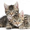Tabby Kittens Cuddling by Mark Taylor