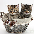 Tabby Kittens In A Basket by Mark Taylor