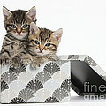 Tabby Kittens In Gift Box by Mark Taylor