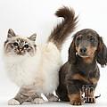 Tabby-point Birman And Dachshund Pup by Mark Taylor