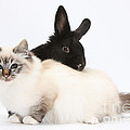 Tabby-point Birman Cat And Black Rabbit by Mark Taylor