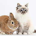 Tabby-point Birman Cat And Rabbit by Mark Taylor