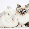 Tabby-point Birman Cat And White Rabbit by Mark Taylor