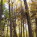 Tall Fall Trees by Dottie Gillespie