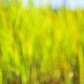 Tall Grass by Elena Elisseeva