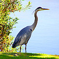 Tall Grey Heron by Diana Haronis