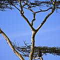 Tall Serengeti Tree And Baboon by Darcy Michaelchuk