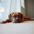 Tan Boxer Puppy Laying On Carpet Near Window by Diyosa Carter