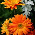 Tangerine Colored Gerbera Daisies by Kay Novy