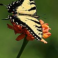 Tantalizing Tiger Swallowtail Butterfly by Sabrina L Ryan