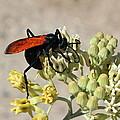 Tarantula Hawk Wasp by Kume Bryant
