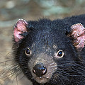 Tasmanian Devil by Tony Camacho