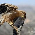 Tawny Eagle by Alan Clifford
