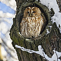Tawny Owl Strix Aluco In Nest Hole by Konrad Wothe