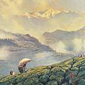 Tea Picking - Darjeeling - India by Tim Scott Bolton