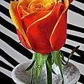 Tea Rose In Striped Vase by Garry Gay
