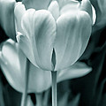 Teal Luminous Tulip Flowers by Jennie Marie Schell