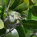 Tennesse Warbler Eating Mangrove by Barbara Bowen