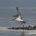 Tern Emerging With Fish by Barbara Bowen
