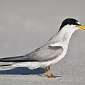 Tern by Mike Fitzgerald
