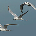 Terns In Formation by Dave Mills