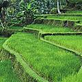 Terraced Fields Of Rice by Axiom Photographic