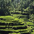 Terraced Rice Fields On Bali Island by Paul Chesley