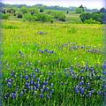 Texas Bluebonnets by Carla Parris