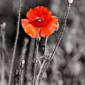 Texas Hot Poppy With Black And White by Linda Phelps