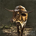 Texas Longhorn # 4 by Betty LaRue