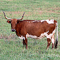 Texas Longhorn by Kathy  White