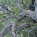 Texas Madrone Tree Limbs by Michael Melford