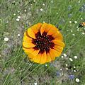 Texas Wildflower by Sandra Vasko